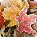 frosty fall leaves